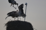 White Stork: Defense fight